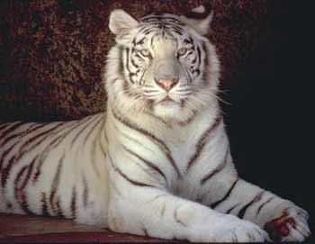 ホワイト虎.jpg